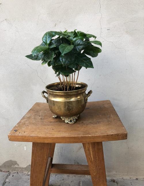 מיני עץ קפה